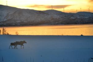 Elche laufen durch Winterlandschaft in Norwegen