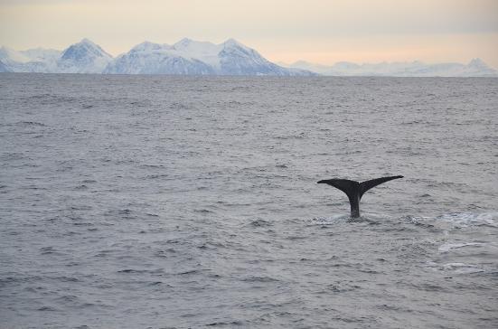 Schwanz eines Pottwals ragt aus dem Mer in Norwegen
