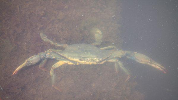 Krabben in der Saline von Ulcinj