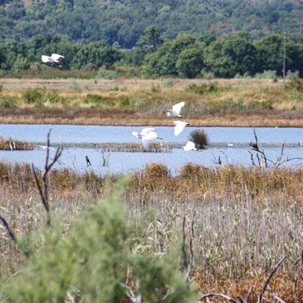 Landeanflug der Seidenreiher in der Ulcinj Salina