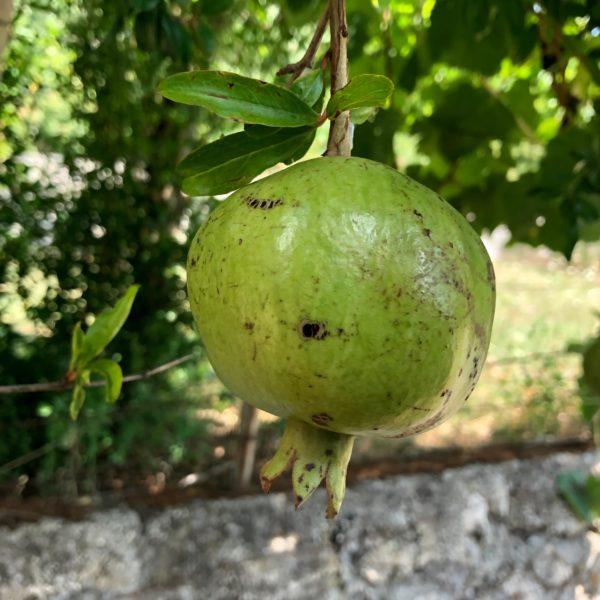 Frische Feigen direkt vom Baum auf der Farma magaraca Martinici