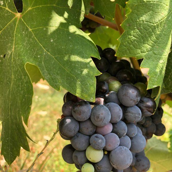 Frische Weintrauben auf der Eselfarm in Montenegro