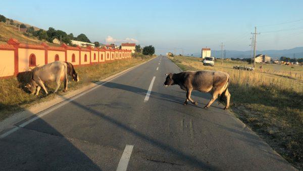 Rinder überqueren die Fahrbahn in Bosnien und Herzegowina